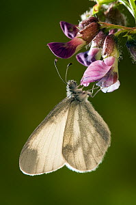 Wood White butterfly (Leptidea sinapis) feeding on flower of Purple Milk-vetch, Captive, UK,  -  Andy Sands