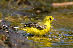 Yellow Wagtail (Motacilla flava flavissima) male bathing in pool, Lincolnshire, UK, May - Andy Sands