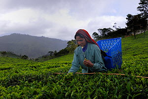 Woman of ethnic Tamil tribe, collecting Tea plant (Rhododendron) for tea production at the Blu Field Tea Factory, Nuwara Eliya, Sri Lanka. June 2010  -  Fabio Liverani