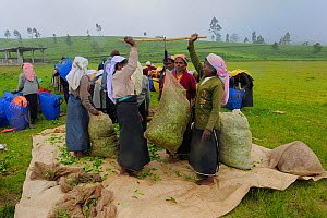 Women of ethnic Tamil tribe, bagging up the harvested Tea plant (Rhododendron) for tea production at the Blu Field Tea Factory, Nuwara Eliya, Sri Lanka. June 2010  -  Fabio Liverani