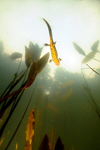 Crested Newt (Triturus cristatus carnifex) underwater view of female swimming near surface, Traversari lake, Campigna National Park, Emilia Romagna and Tuscany regions, Italy  -  Fabio Liverani