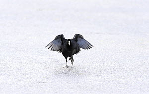 Coot (Fulica atra) dancing on ice, Wirral, England, UK, January.  -  Graham Eaton