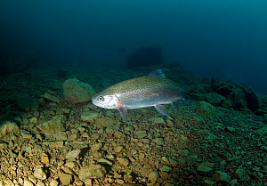 Rainbow Trout (Oncorhynchus mykiss) in a lake, Lancashire, England, UK, February.  -  Graham Eaton