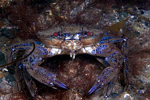 Velvet swimming crab (Necora puber) pair mating, Trefor, Wales, UK, July.  -  Graham Eaton