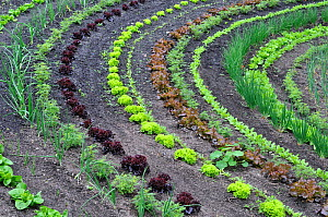 Rows of Lettuce (Lactuca sativa) and salad vegetables, Eden Project, Cornwall, England, UK, May  -  Gary K. Smith