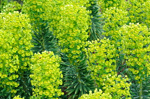 Spurge (Euphorbia characias) in flower, England, UK, April. Cultivated plant - native to Mediterranean.  -  Gary K. Smith