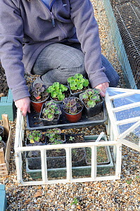 Woman gardener placing trays of Pelargonium seedlings into cloche / propagator to harden off, UK, May  -  Gary K. Smith