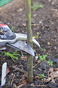 Fruit Propagation 'whip & tongue grafting', gardener grafting Apple (Malus sylvestris) onto M26 grafting stock, cutting back rootstock, UK, April. Sequence 1/7  -  Gary K. Smith