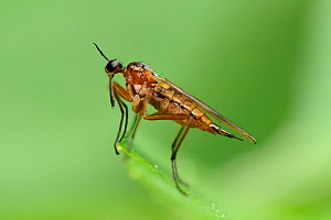 Dance fly (Empis trigramma) portrait of female standing on a leaf, Wiltshire, UK, May.  -  Nick Upton
