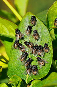 Aggregation of male Face / Autumn house flies (Musca autumnalis) sunbasking and waiting for females to fly past. Wiltshire garden, UK, April.  -  Nick Upton