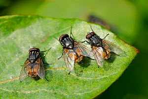 Three male Face / Autumn House Flies (Musca autumnalis) sun basking and waiting for females to fly past. Wiltshire garden, UK, April.  -  Nick Upton