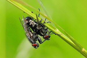 Pair of Flesh Flies (Sarcophaga sp.) mating, Wiltshire pastureland, UK, May. - Nick Upton