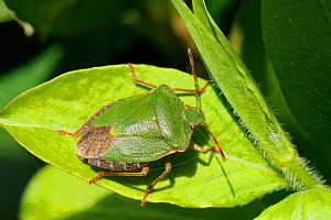 Green shield / stink bug (Palomena prasina) sun basking on a leaf, Wiltshire garden, UK, April. - Nick Upton