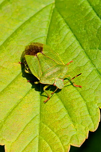 Green shield / stink bug (Palomena prasina) camouflaged on Sycamore leaf, Wiltshire garden, UK, May. - Nick Upton