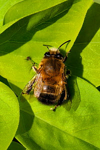 Hairy footed flower bee (Anthophora plumipes) male, sun basking on a leaf, Wiltshire garden, UK, April.  -  Nick Upton