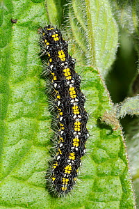 Scarlet Tiger Moth caterpillar (Callimorpha dominula) feeding on Common Comfrey leaf (Symphytum officinale) Wiltshire, UK, April.  -  Nick Upton