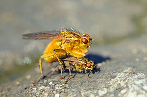 Male Yellow Dung Fly (Scathophaga stercoraria) guarding female, on a cow pat. Wiltshire, UK, April.  -  Nick Upton