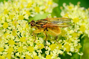 Male Yellow Dung Fly (Scathophaga stercoraria) on Alexanders (Smyrnium olusatrum) flowerhead. Cornwall, UK, April.  -  Nick Upton