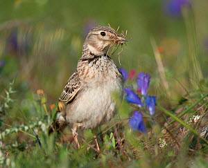 Calandra Lark (Melanocorypha calandra) female gathering nesting material in meadow, Castro Verde, Portugal, April  -  Roger Powell