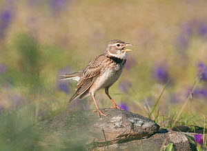 Calandra Lark (Melanocorypha calandra) male singing from vantage point on a rock, within his breeding territory Castro Verde, Portugal, April  -  Roger Powell
