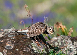 Calandra Lark (Melanocorypha calandra) male displaying on a rock, within his breeding territory Castro Verde, Portugal, April  -  Roger Powell