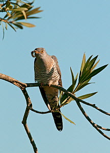 European Cuckoo (Cuculus canorus) with large caterpillar in beak, resting briefly whilst on migration north, Castro Verde, Portugal, April  -  Roger Powell