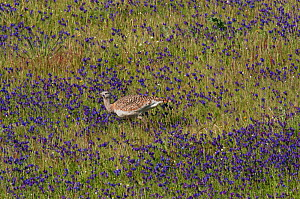 Great Bustard (Otis tarda) female feeding on Vipers Bugloss (Echium vulgare) flowers in a meadow. Castro Verde, Portugal, April  -  Roger Powell