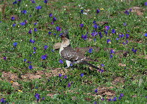 Great Spotted Cuckoo (Clamator glandarius) in flower meadow, Castro Verde, Portugal, March  -  Roger Powell