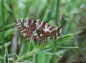Spanish Festoon butterfly (Zerynthia rumina) with wings closed, Castro Verde, Portugal, May  -  Roger Powell