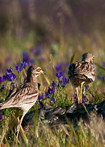 Stone Curlew (Burhinus oedicnemus) pair walking through a flower meadow, Castro Verde, Portugal, April  -  Roger Powell