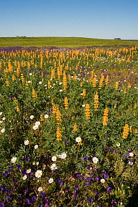 Yellow Lupins (Lupinus luteus) growing with other wild flowers Southern Daisy (Bellis sylvestris) Purple Vipers Bugloss (Echium vulgare) Castro Verde, Portugal, May  -  Roger Powell