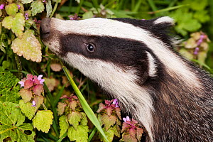 Badger cub (Meles meles) head portrait foraging in vegetation, captive, England, UK.  -  Alex Hyde