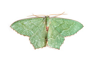 Common Emerald moth (Hemithea aestivaria) withy wings open, on white background. Pembrokeshire, Wales, UK. July.  -  Alex Hyde