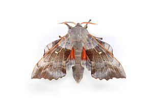 Poplar Hawkmoth (Laothoe populi) male showing orange patches on hind wings, as a distraction or startle display. On white background. Pembrokeshire, UK. July.  -  Alex Hyde