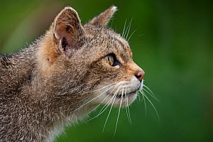 Scottish Wild Cat (Felis silvestris grampia) head portrait in profile (captive) UK - Alex Hyde