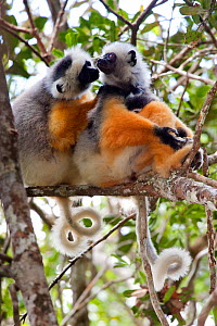 Diademed Sifakas (Propithecus diadema diadema) family group with baby in tropical rainforest. Andasibe-Mantadia National Park, Eastern Madagascar. IUCN Endangered Species.  -  Alex Hyde