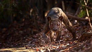 Fosa / Fossa (Cryptoprocta ferox) male prowling in dry deciduous forest, Kirindy Forest, Western Madagascar, IUCN vulnerable species.  -  Alex Hyde