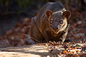 Fosa / Fossa (Cryptoprocta ferox) male crouched in dry deciduous forest, Kirindy Forest, Western Madagascar, IUCN vulnerable species.  -  Alex Hyde