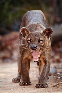 Fosa / Fossa (Cryptoprocta ferox) male snarling, dry deciduous forest, Kirindy Forest, Western Madagascar, IUCN vulnerable species. Not available for ringtone/wallpaper use.  -  Alex Hyde