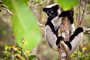 Indri (Indri indri) portrait, climbing tree, tropical rainforest, Andasibe-Mantadia National Park, Eastern Madagascar. IUCN Endangered Species. - Alex Hyde