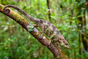 Short-horned chameleon (Calumma brevicornis) walking down branch in tropical rainforest, Andasibe-Mantadia National Park, Eastern Madagascar.  -  Alex Hyde