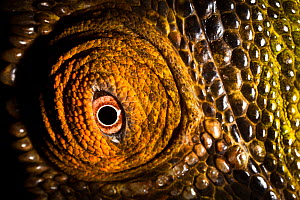 Parson's chameleon {Calumma parsonii} close-up of eye with brown coloured skin. Tropical rainforest, Masoala Peninsula National Park, north east Madagascar. - Alex Hyde