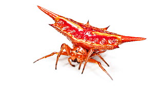 Spinybacked orb weaver spider (Gasteracantha sp.} photographed on white background, tropical rainforest, Andasibe-Mantadia NP, Madagascar - Alex Hyde