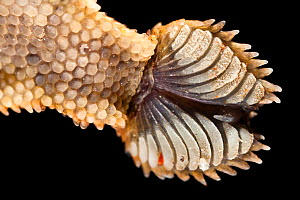Close-up of the underside of foot of Leaf-tailed gecko {Uroplatus sikorae} as it walks on vertical glass. The finely divided setae on the toe pads stick the gecko to the smooth surface through van der... - Alex Hyde
