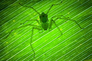 Green Huntsman Spider {Sparassidae} on leaf in tropical rainforest, Masoala Peninsula National Park, north east Madagascar.  -  Alex Hyde