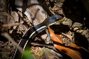Lateral water snake {Bibilava lateralis}, moving through leaf litter on rainforest floor, Andasibe-Mantadia National Park, Madagascar. - Alex Hyde