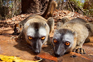 Red fronted brown lemurs {Lemur fulvus rufus} drinking from pool, Kirindy forest, West Madagascar. - Alex Hyde