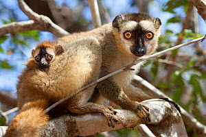 Red fronted brown lemur {Lemur fulvus rufus} with baby, looking down from tree, Kirindy forest, West Madagascar - Alex Hyde