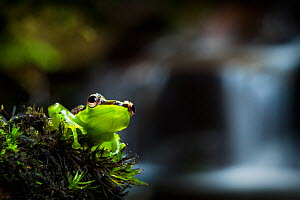 Madagascar reed frog {Heterixalus madagascariensis} in front of waterfall, montane rainforest. Andasibe-Mantadia NP, Eastern Madagascar. - Alex Hyde