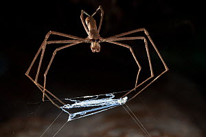 Ogre faced / Net-casting spider {Deinopis sp} with web held between legs that it will stretch over prey that walks below it. Masoala Peninsula National Park, north east Madagascar. - Alex Hyde